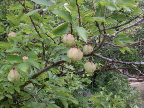 Странные плоды странного растения