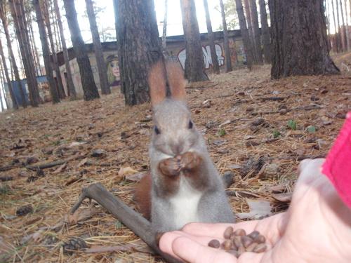 Белка и кедровые орехи